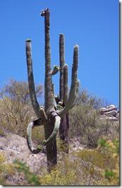 Saguaro Flexing