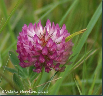 6-red-clover