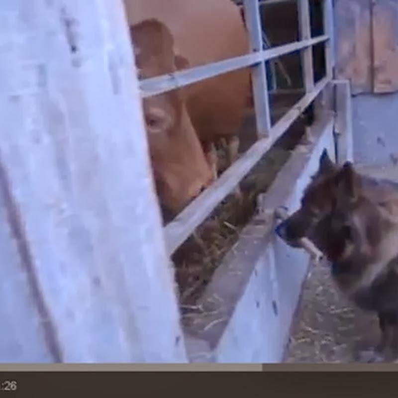 Σκύλος δίνει ένα κόκαλο σε μια αγελάδα