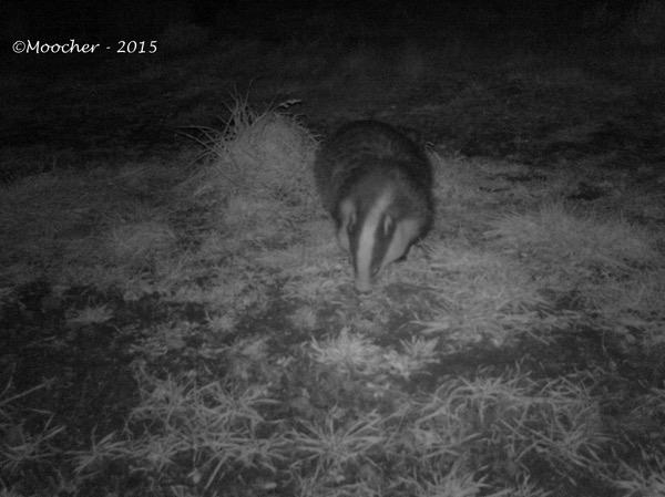 Badger02
