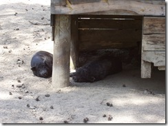 2012.06.02-027 cochons du Vietnam