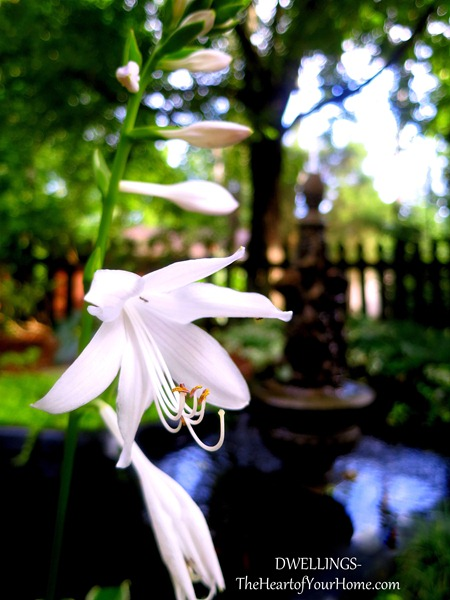 white-hosta- blooms