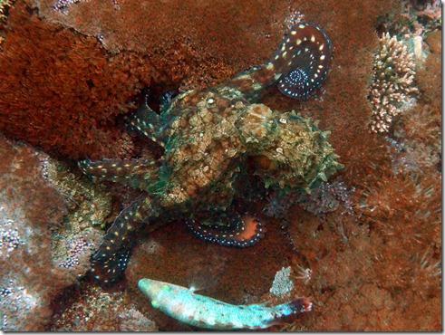 octopus E
