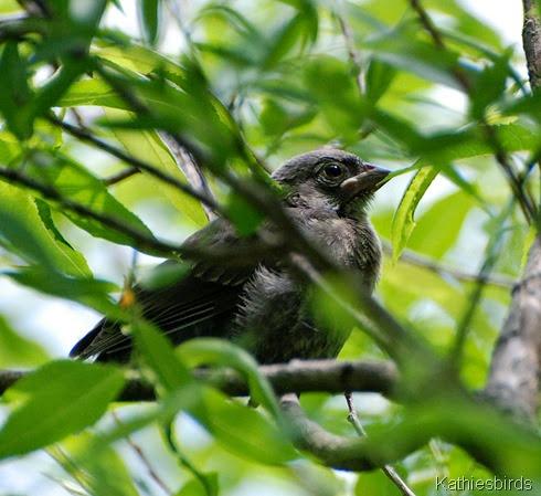 12. catbird chick-kab