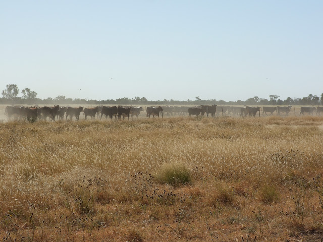 Cattle on the road.JPG