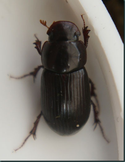 Beetle aphodius rufipes