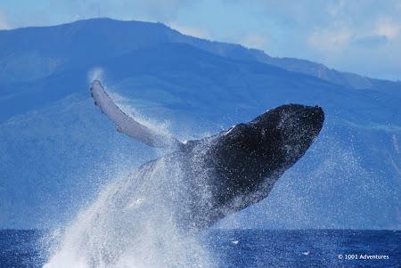Obiective turistice Azore: observarea balenelor