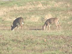 11.2011 Maine Otisfield 2deer in apple farm field2