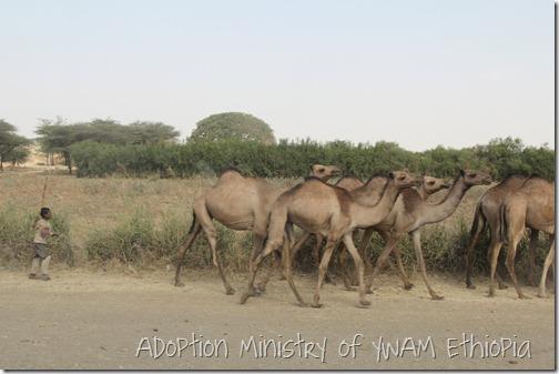 Camels near Gutu