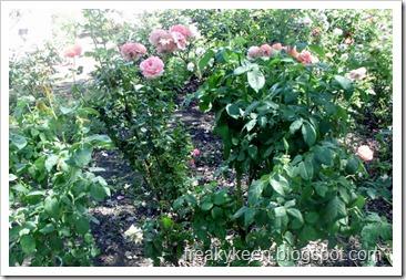MCC Rose Garden 24