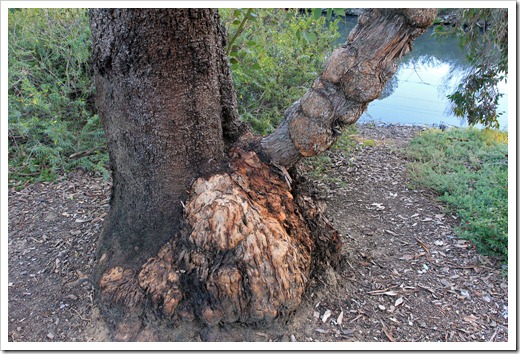 130119_UCDA_AustralianCollection_Bull-mallee-Eucalyptus-behriana_01