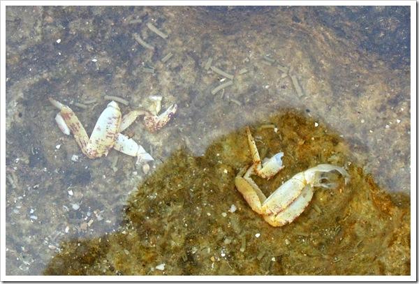 蟹類的殘肢