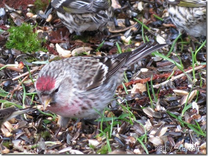 Redpoll and sisken