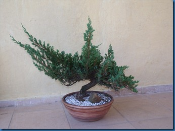 am_secr_gene_bonsai 026
