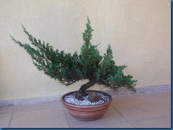 am_secr_gene_bonsai 026
