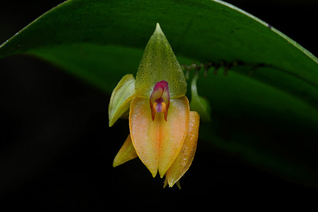 Orchid in the cloud forest near Machu Picchu. New research suggests that cloud forests may not survive a hotter climate without human help. Photo: Geoff Gallice / Creative Commons 3.0
