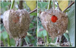 0924 lantern seed pod collage