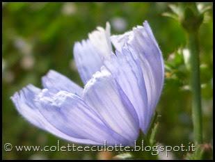 Cichorium intybus (6)