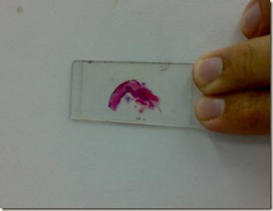 stained tssue on glass slide-gross
