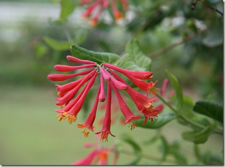 Lonicera sempervirens, Coral honeysuckle, Hummingbird