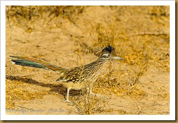 Greater Roadrunner ( Geococcyx californianus