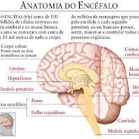 Cerebro corte.JPG