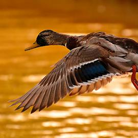 The duck`s flight by Ion Alexandra - Animals Birds ( flying, wings, duck, bird, fly, flight )