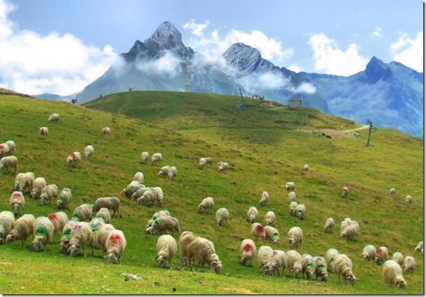 Ovelhas Pastando (3)