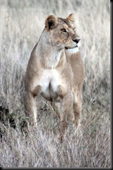 October 18 2012 young lioness stares