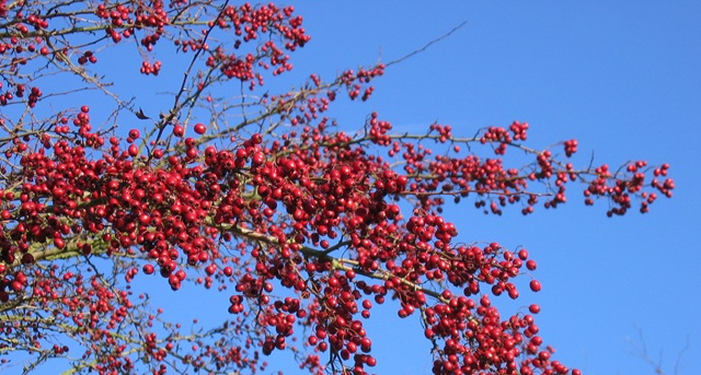 cropped nov berries