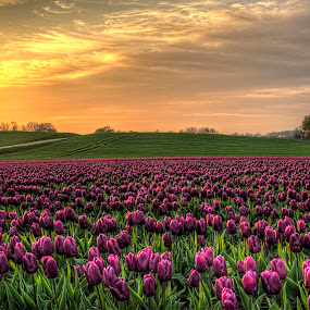 Colors by Kim  Schou - Flowers Flower Gardens ( kim schou, hdr, vesterborg, tulips, lolland,  )