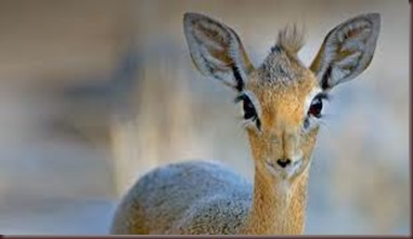 Amazing Pictures of Animals photo Nature, exotic, funny, incredibel Zoo, Dik-dik, antelope. Alex (15)