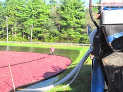 Cranberry harvest 10.1.12 berries suctioned off of bog farm2
