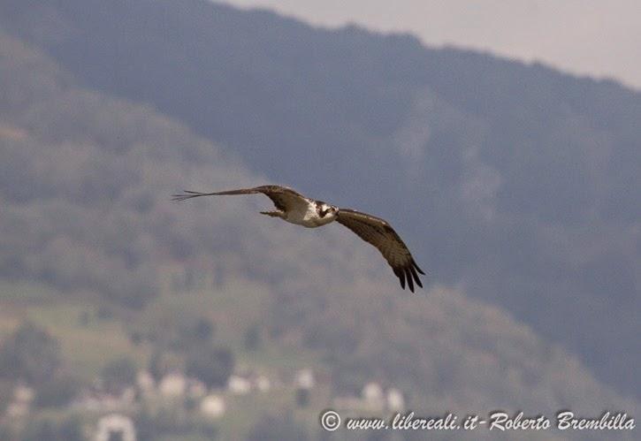 2_Falco pescatore_Pian di Spagna (74)