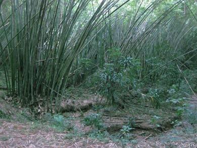 Tucker Valley Dämmerung im Bambuswald