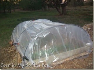 cold frames- tomatoes- fall gardens 021