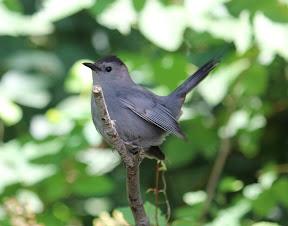 Gray Catbird showing off
