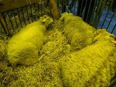 2015.02.26-029 mouton Boulonnais