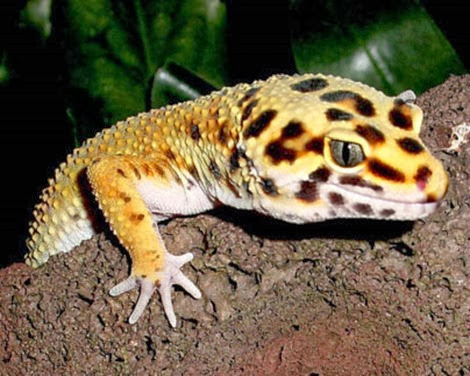 Amazing Pictures of Animals, Photo, Nature, Incredibel, Funny, Zoo, Eublepharis macularius, Leopard gecko, Alex (16)