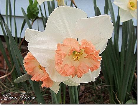 Daffodils_Pink
