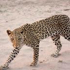 Leopard, Botswana © Foto: Familie Jugel-Patzig