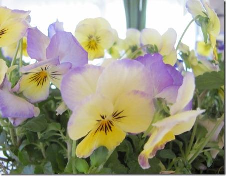 violaflowers4