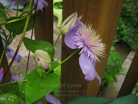blue-clematis2