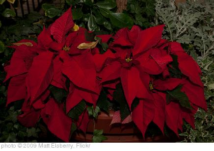 'Poinsettia' photo (c) 2009, Matt Elsberry - license: http://creativecommons.org/licenses/by-nd/2.0/