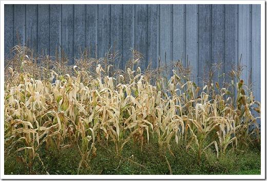 091009_cornfield