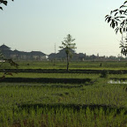 Reisfeld auf dem Weg von Denpasar zurück an die Nordküste, wo die Sunrise vor Anker liegt
