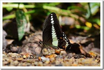 Papilio demolion demolion_MYFH_20110807_N089