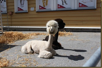 Alpacas Prince and Tilt relaxes in the sun