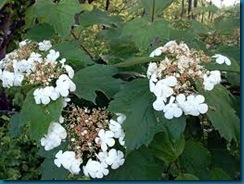 highbush viburnum