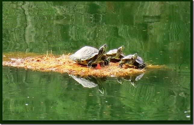 turtlesIMG_9476